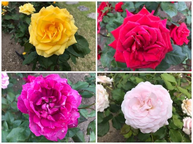4色の薔薇