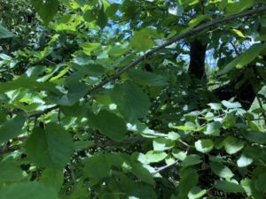 桑の葉とは?DNJ(デオキシノジリマイシン)がすごい?
